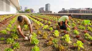 chicago-rooftop-farm_ChicagoBotanicGardenPhoto