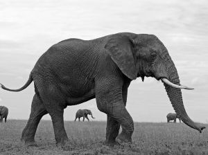 African Elephants in Tanzania. Photographer: Yaron Schmid, Source: National Geographics