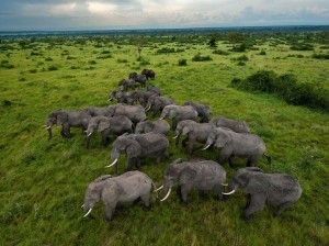 Herd of African Elephants, Queen Elizabeth Park, Uganda, Elephants, Uganda  (Photograph by Joel Sartore for National Geographic- Jan 2012)